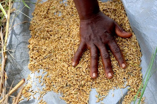 Growing lowland rice in Liberia, West Africa