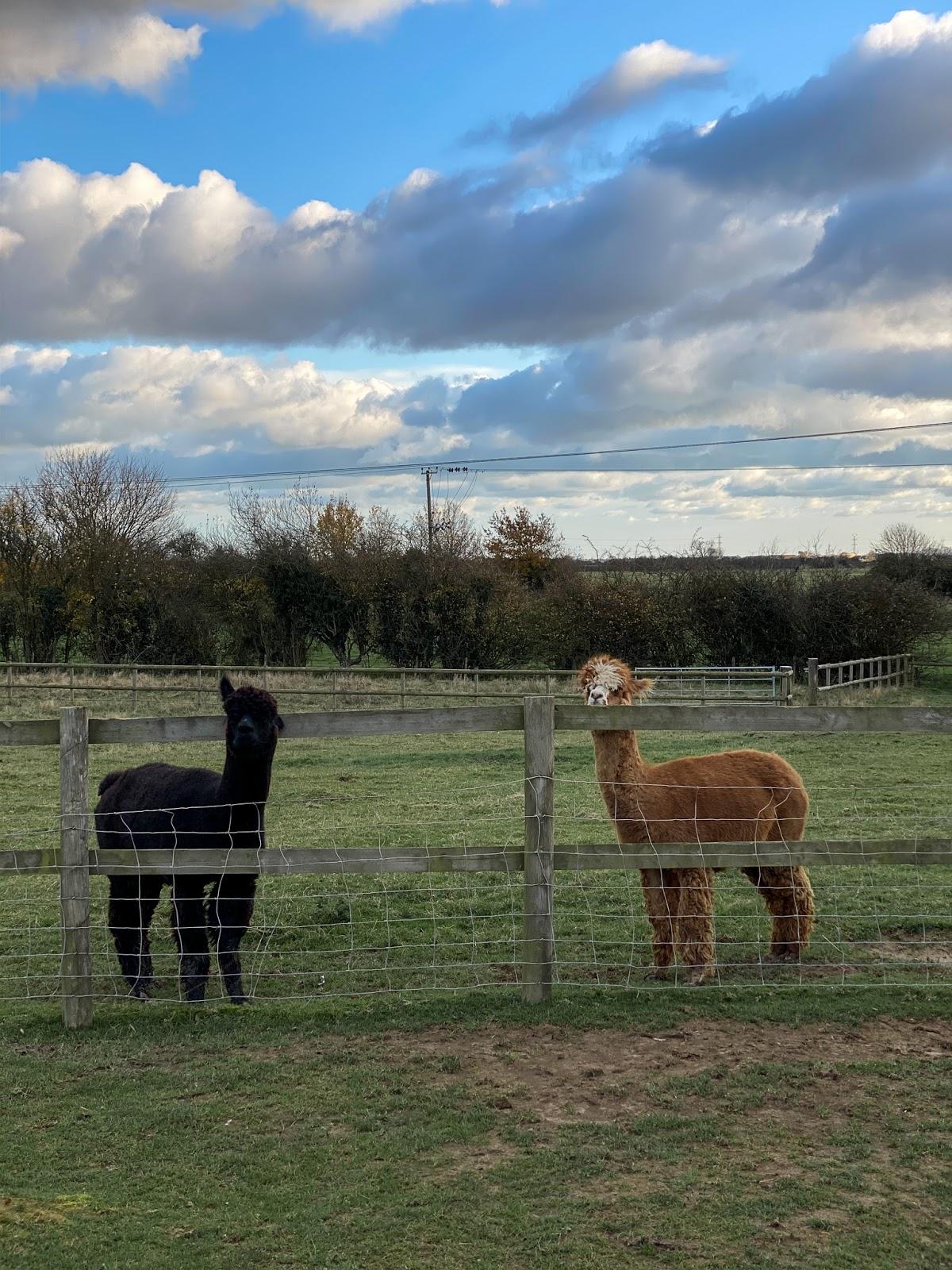 alpacas-kent-countryside