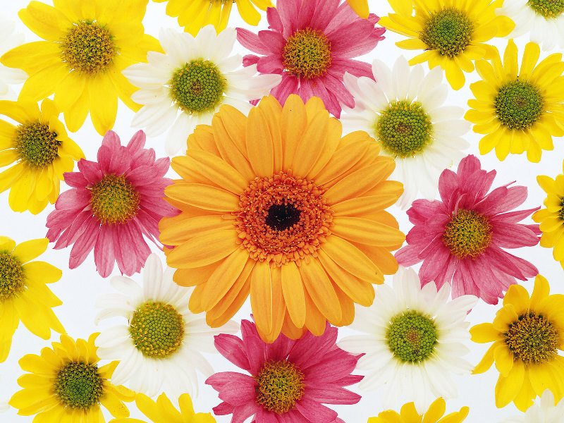 Single Flower Wallpapers: Flower Background Wallpaper