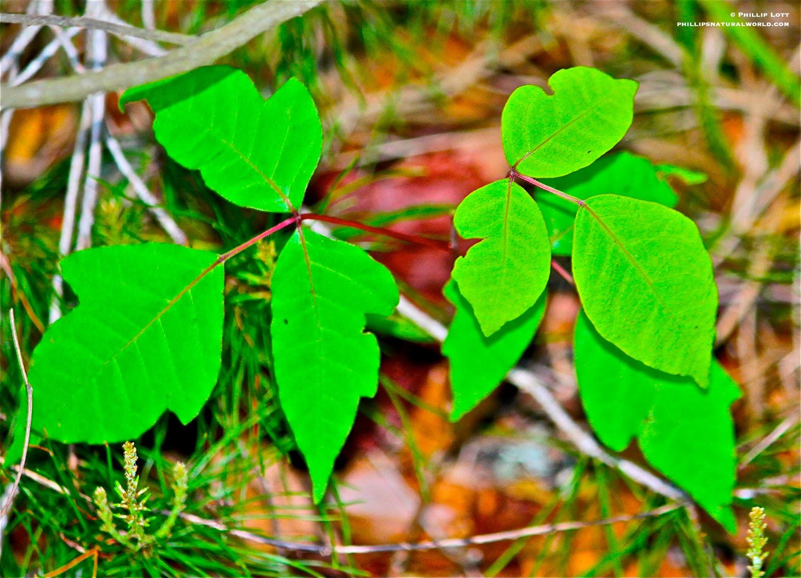 Florida's 4 Most Common Poisonous Plants