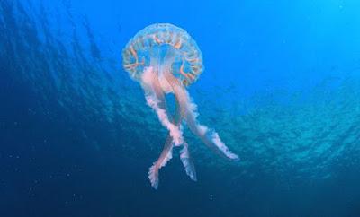 Avustralya Kutu Denizanası animal