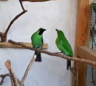 Cara Penangkaran Burung Cucak Ijo