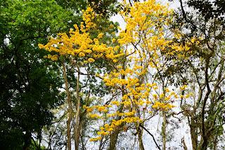 Yellow Flowering Tree at Rio Viejo