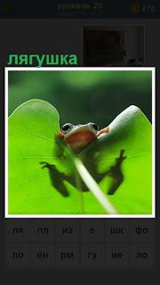за большим листом спряталась обычная лягушка, только одна морда