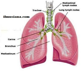 lung Excretory System Human Body