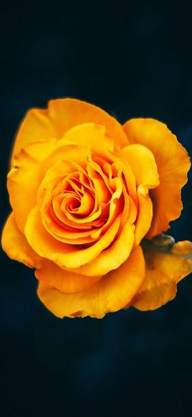 خلفية الوردة الصفراء الجميلة أمام جدار أسود