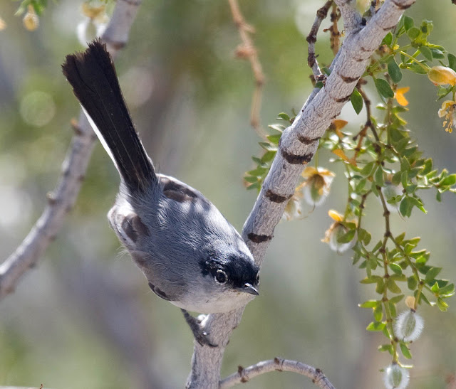 Black-tailed Gnatcatcher in creosote Vallecito County Park