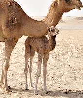 Bir anne deve altındaki deve yavrusu ya da potuk