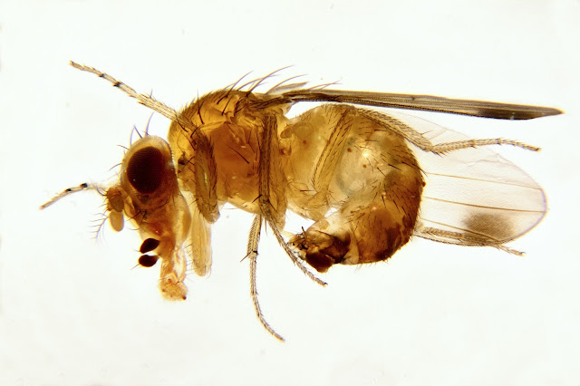 Lateral view: Male Spotted Wing Drosophila (SWD, Drosophila suzukii)