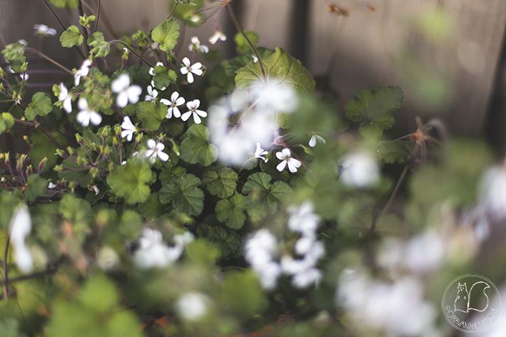 pelargoni kukka oravankesäpesä luonnonlaji