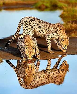 Cheetahs thirst-quenching.