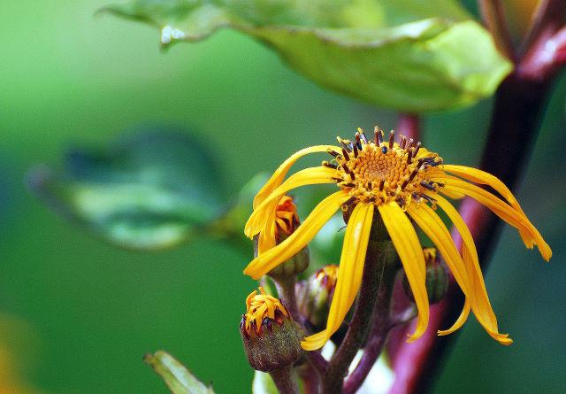 keltainen kukka, elokuu, kesä, summer, suomi, finland, luonto