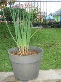 tanaman obat herbal bawang putih