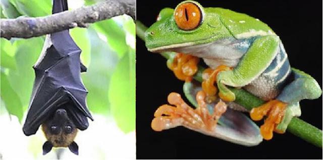 hukum makan katak dan kelelawar