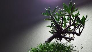 クチナシのミニ盆栽