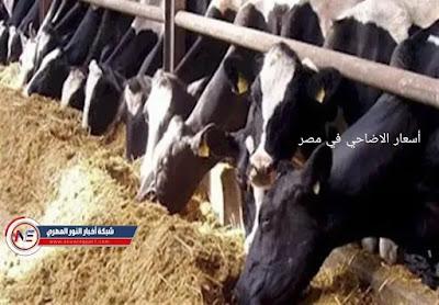 أضاحي العيد .. اسعار الاضاحي الخرفان و العجول في مصر 2021 مع دخول عيد الاضحي المبارك