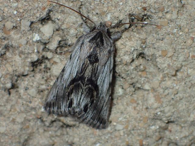 Calophasia platyptera