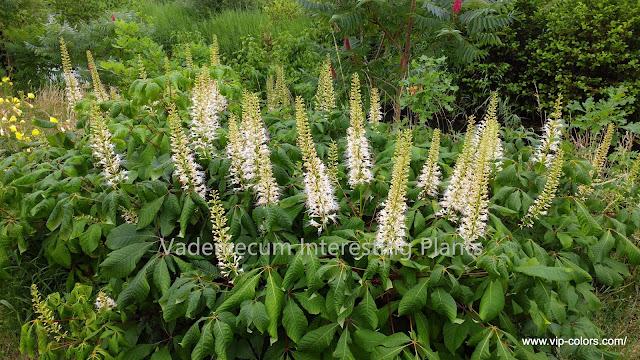 kasztaniec drobnokwiatowy sadzonki, kasztanowiec drobnokwiatowy rozmnażanie, kasztanowiec drobnokwiatowy liście,