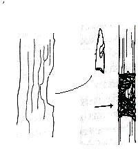 Gambar Cara mengokulasi karet