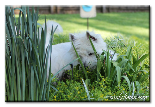Westie watching a lizard in the garden
