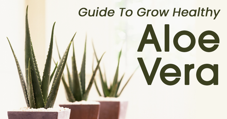 aloe-vera-live-plant-online
