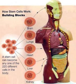 Manfaat dan Khasiat CellMaxx untuk Kesehatan Tubuh, khasiat cellmaxx, manfaat cellmaxx, kandungan cellmaxx, cellmaxx terafi stemcell