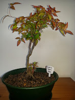 Nandina Bonsai 2001