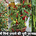 how to grow chillies in pots full guide in hindi
