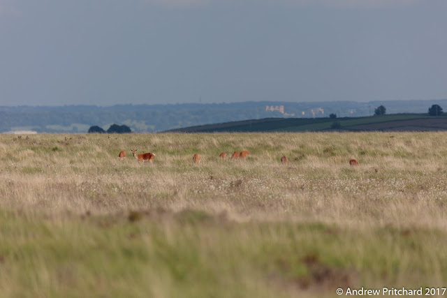White Edge deer quite easy to see in the moorland grass, with Hardwick Hall in the distance.