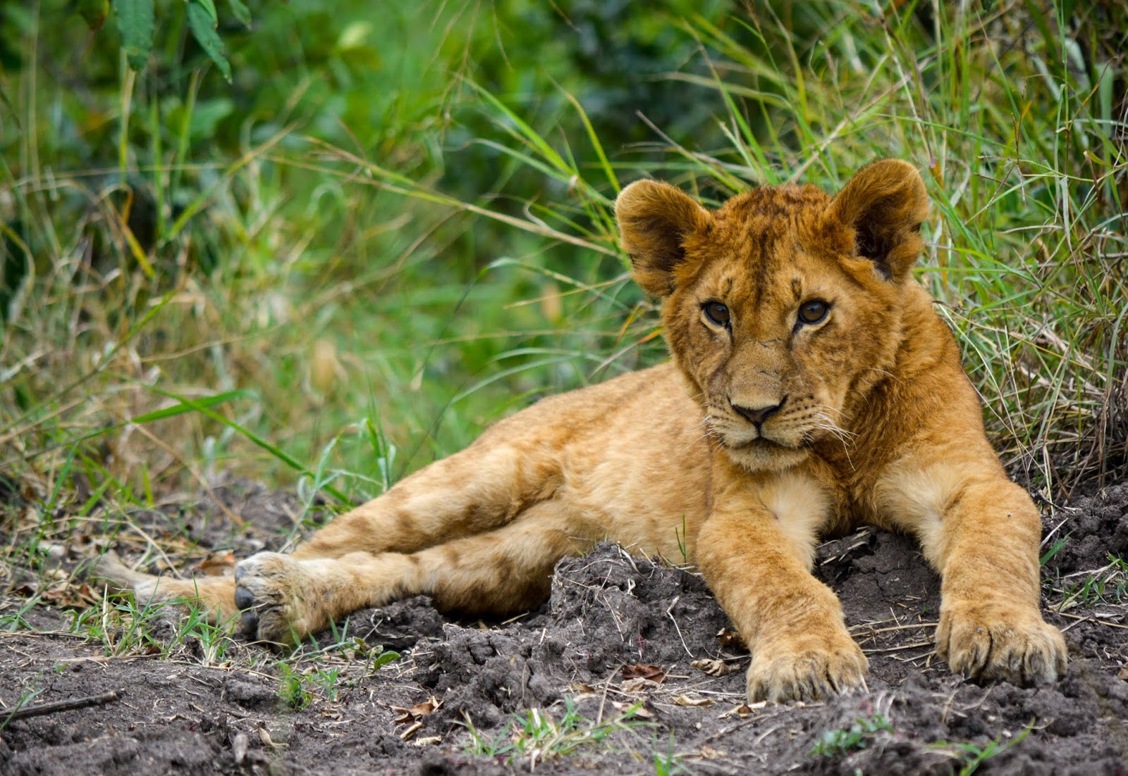 brown lion cub,lion images