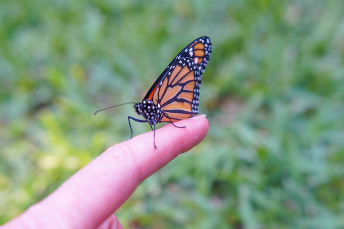 monarch butterfly on finger