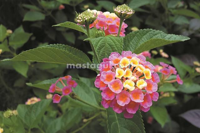 Tanaman Bunga Hias Lantana