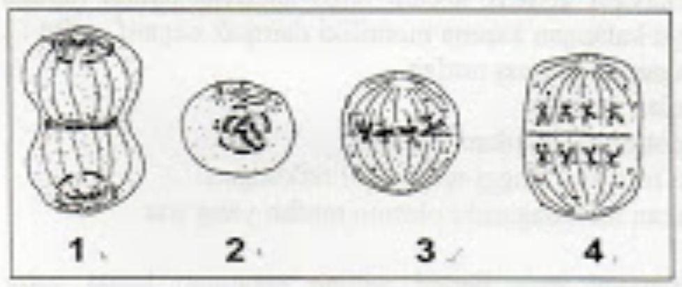 Perhatikan Gambar Pembelahan Mitosis Berikut Ini Urutan Gambar Dan Fase Yang Sesuai Dengan Pembelahan Mitosis Adalah Blog Pak Pandani