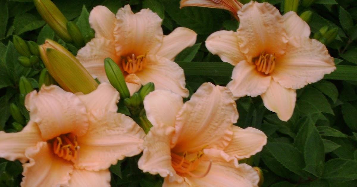 Djs Daylilies Daylily Photos N Z