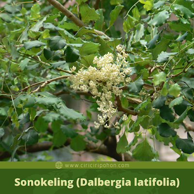 Sonokeling (Dalbergia latifolia)