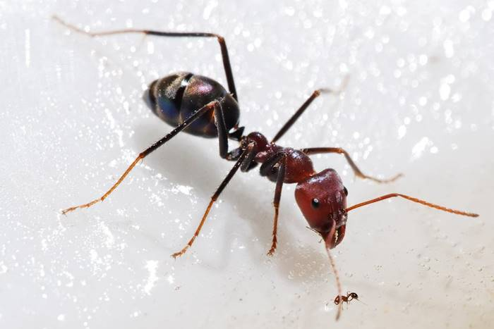 Size difference between two species of ants
