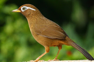 Kisaran Harga Terbaru Dan Manpaat Pemberian Pakan Burung Hwamei