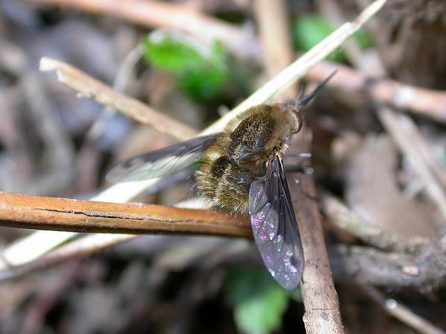 Bombylius fimbriatus