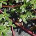 Γλιστρίδα: Ένα «Αγριόχορτο» ισχυρό ενισχυτικό του ανοσοποιητικού μας συστήματος που βρίσκεται στην Αυλή μας