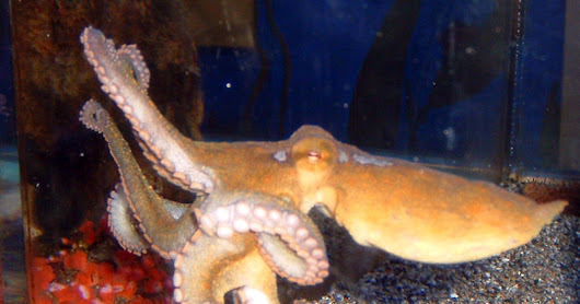 Giving octopuses ecstasy