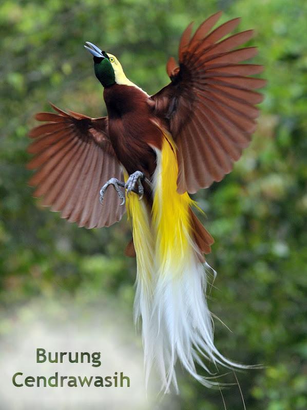 Mewarnai Asal Mula Burung Cendrawasih Cerita Rakyat Papua Cendrawa Gambar