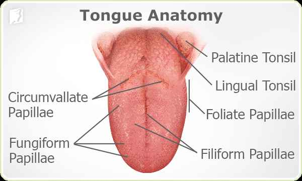 Anatomy Of The Mouth And Tongue 118