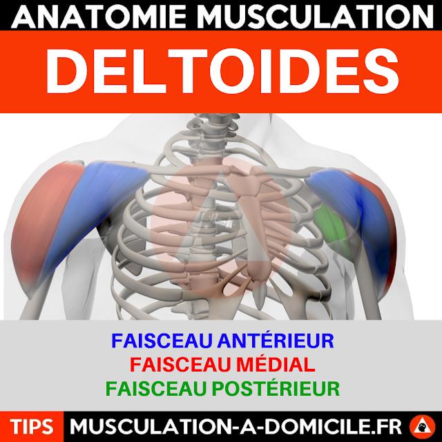 musculation à domicile anatomie des muscles delltoides épaules