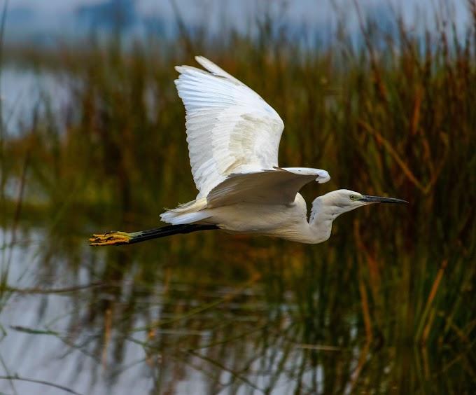 Flying Great Egret at Vadhwana Bird sanctuary, Gujarat