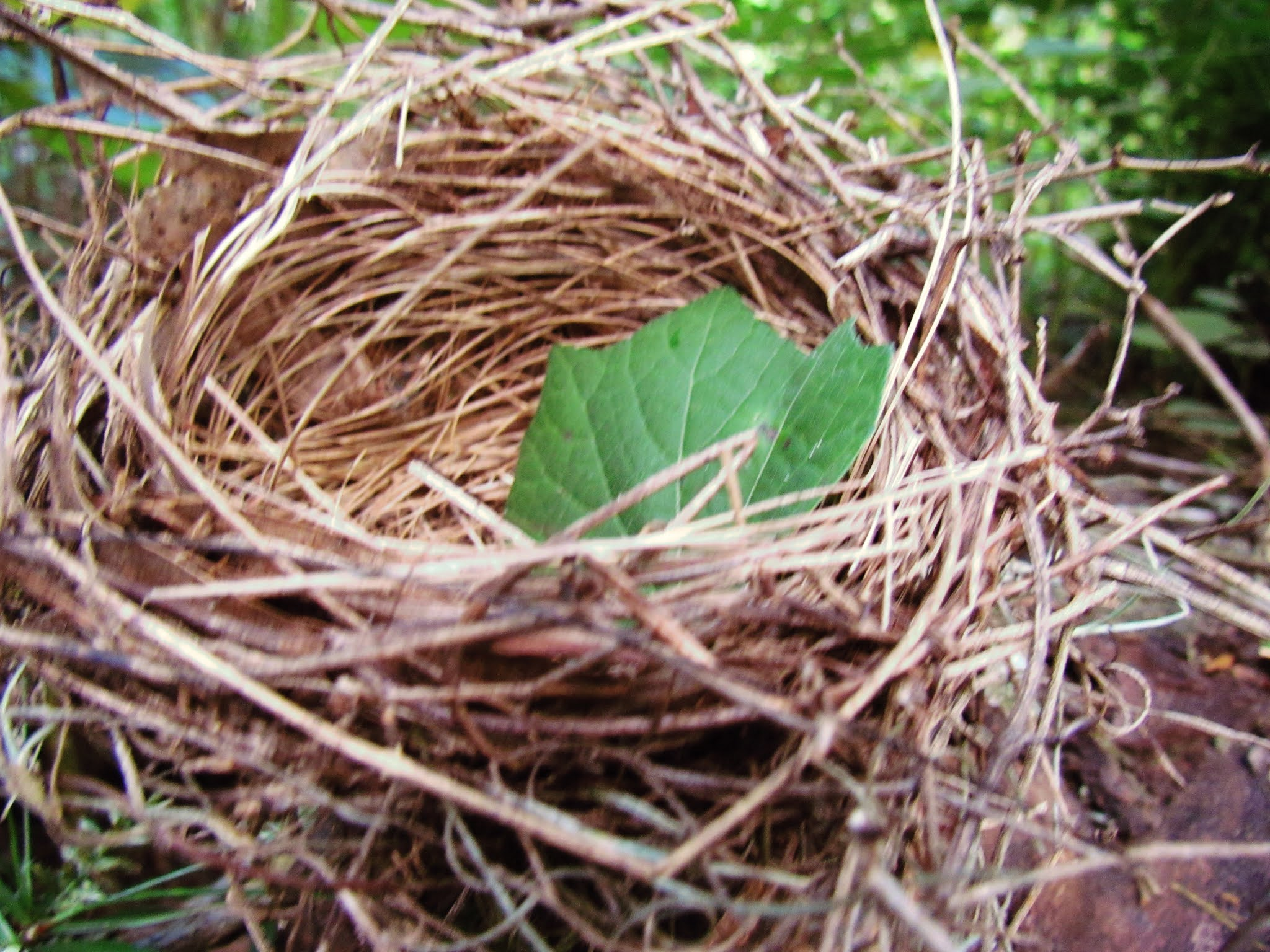 A naturally found bird's nest with a pretty green leaf in the woodlands of Florida's wildlife preserves
