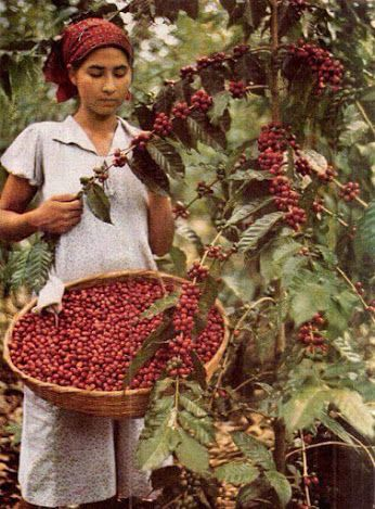 http://tipspetani.blogspot.com/2017/06/cara-memanen-buah-kopi-yang-benar.html