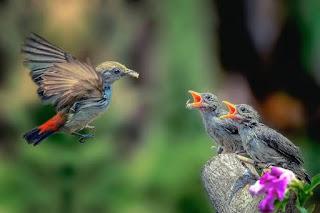 Ciri burung kemade betina