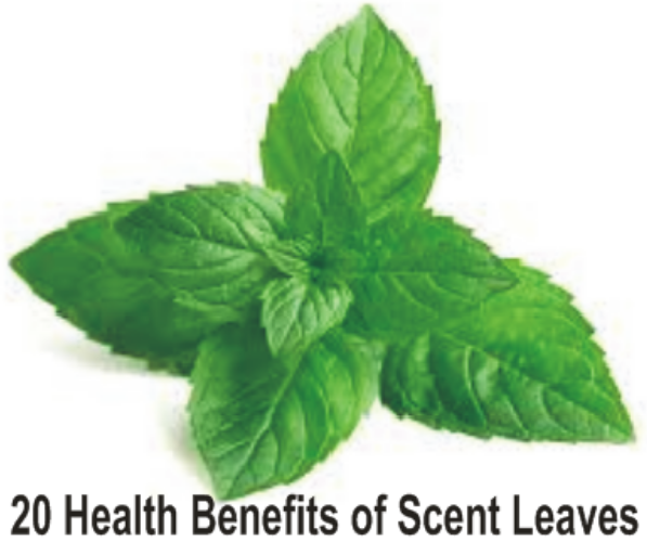 benefits of scent leaves to your body