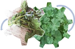 plante, bienfaits, recette, cuisine