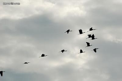Grupo de moritos durante la migración